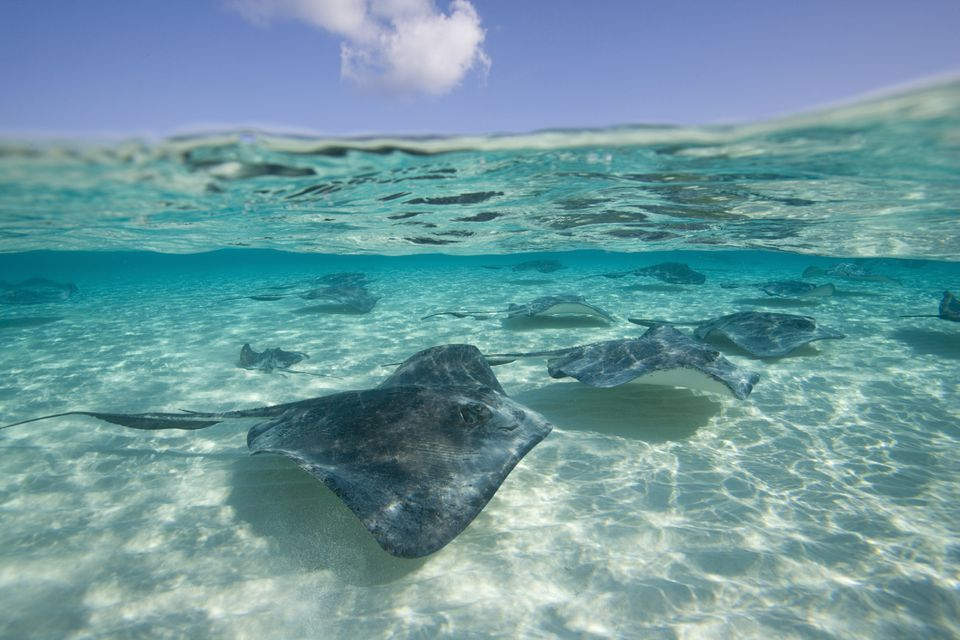 Group of Southern Stingrays (Dasyatis americana) swimming by Stingray City, Grand Cayman, Cayman Islands