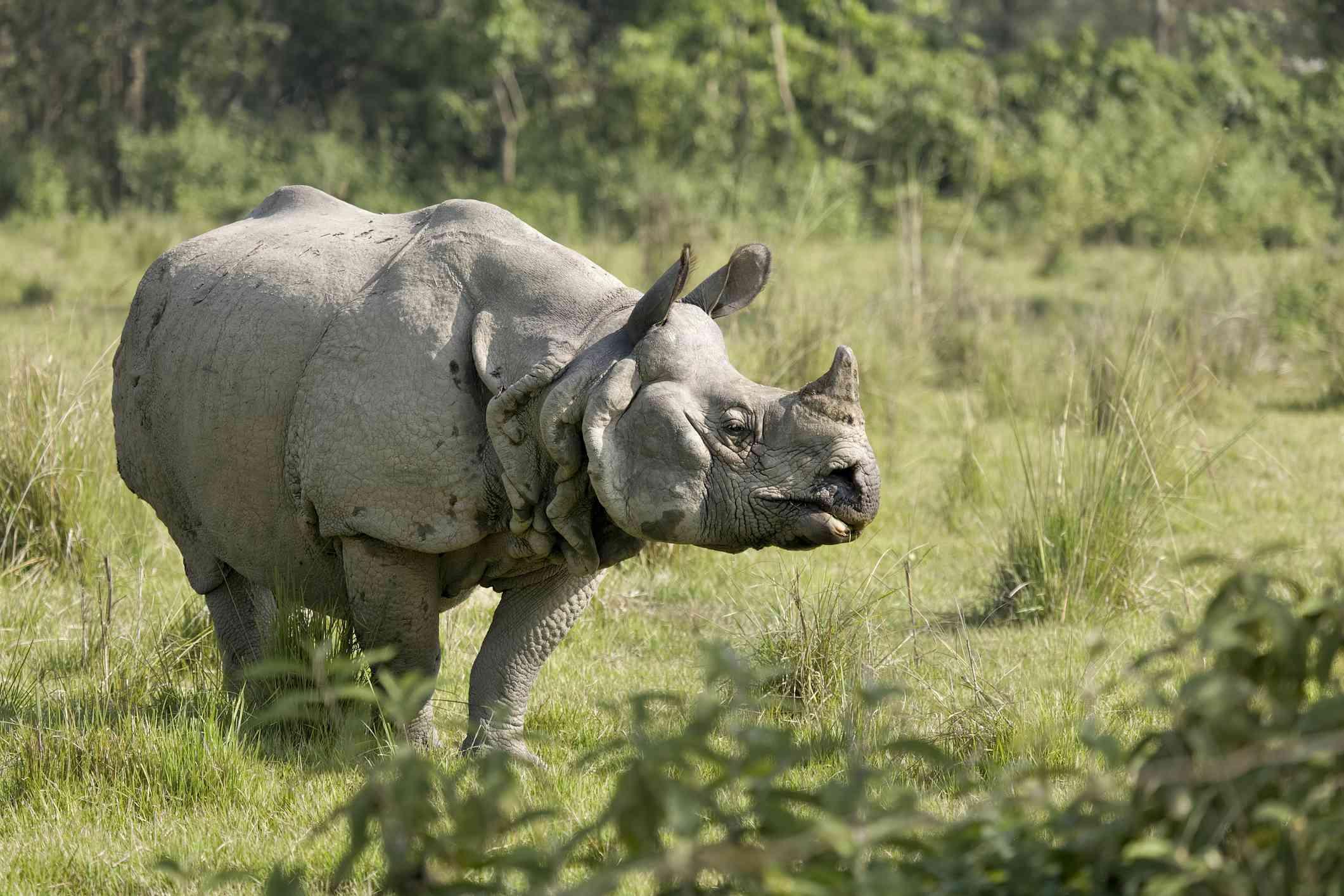 one-horned rhinoceros standing in grass