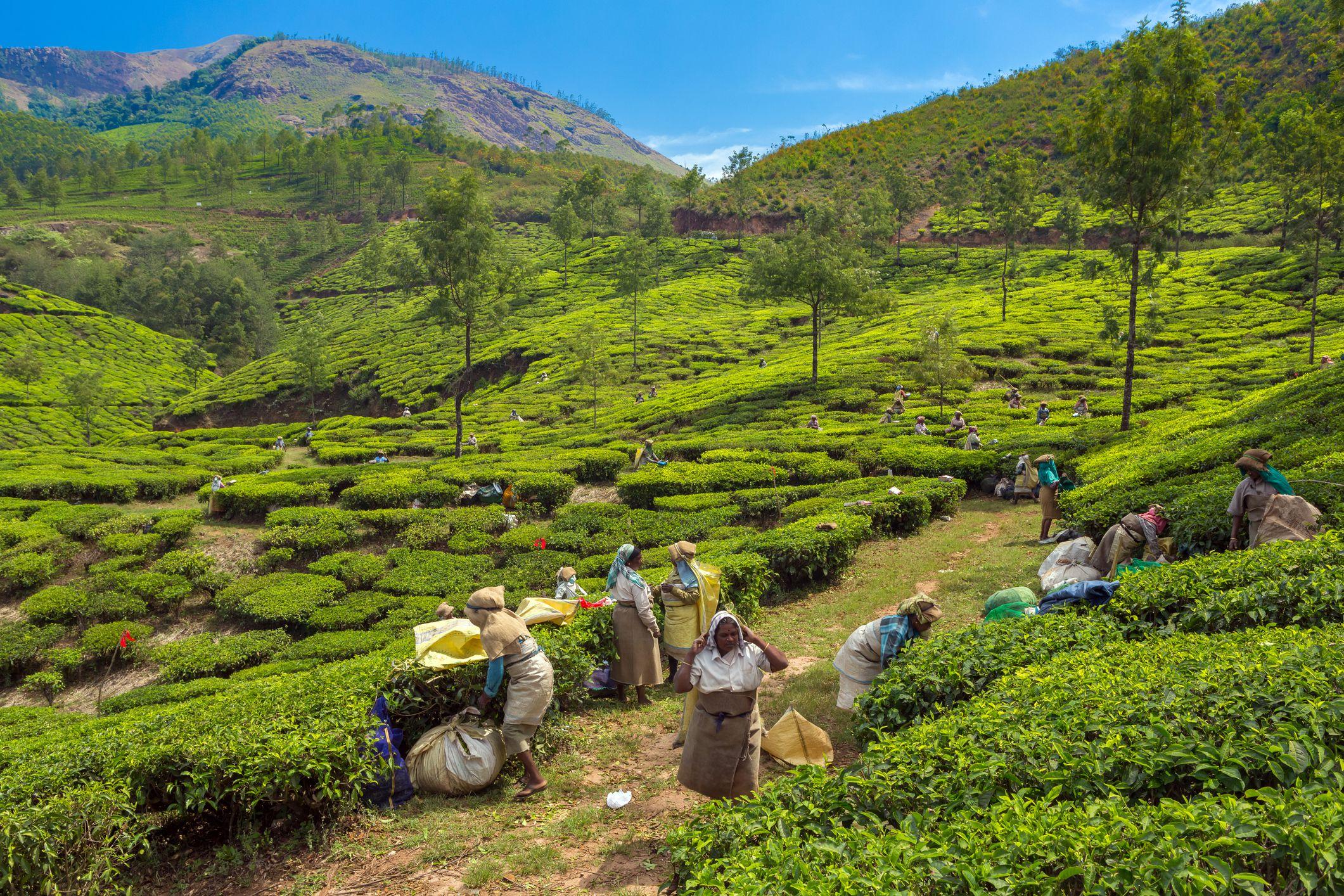 Té cosecha en Munnar