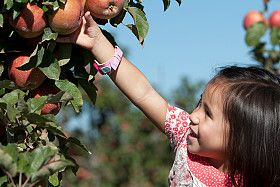 A young girl picks an apple off a tree.