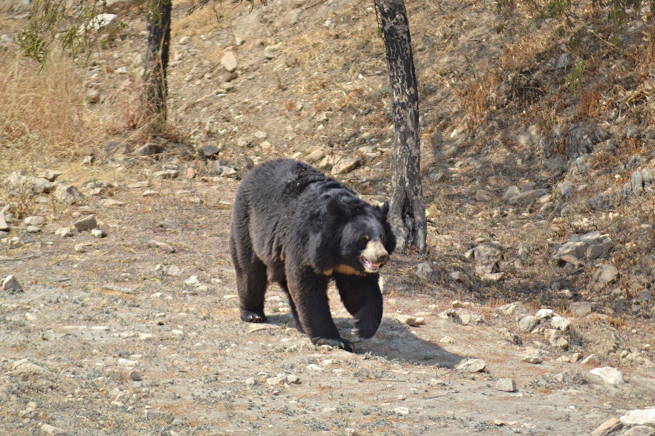 Bear at the Sajjan Garh