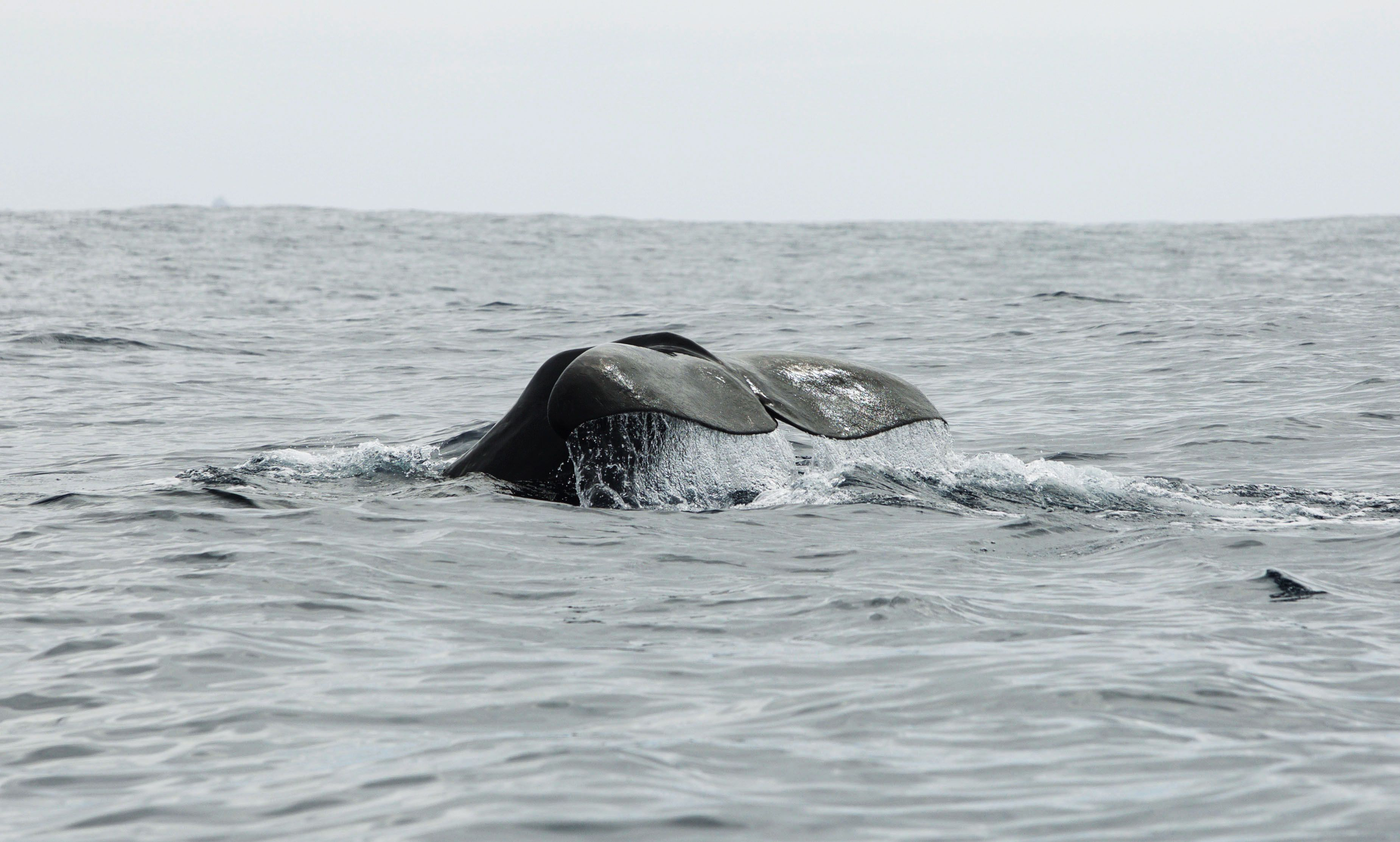 A whale's tale coming out of the water off the coast of Iceland