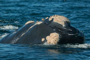 Africa's Top Whale & Dolphin-Watching Destinations Southern Right Whale