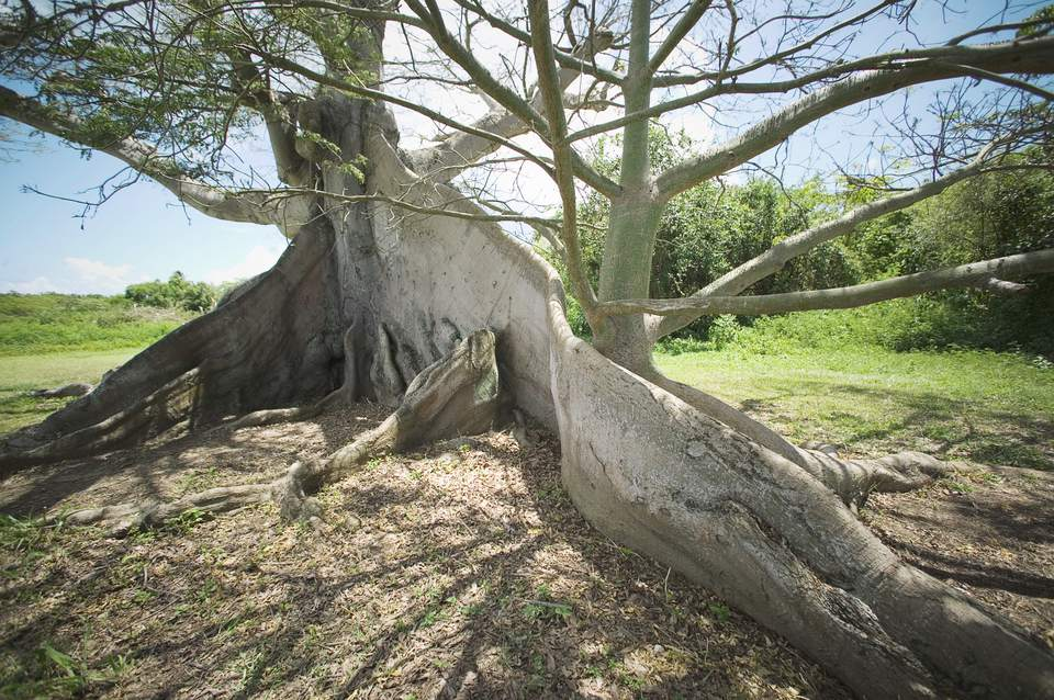 Roots of large tree