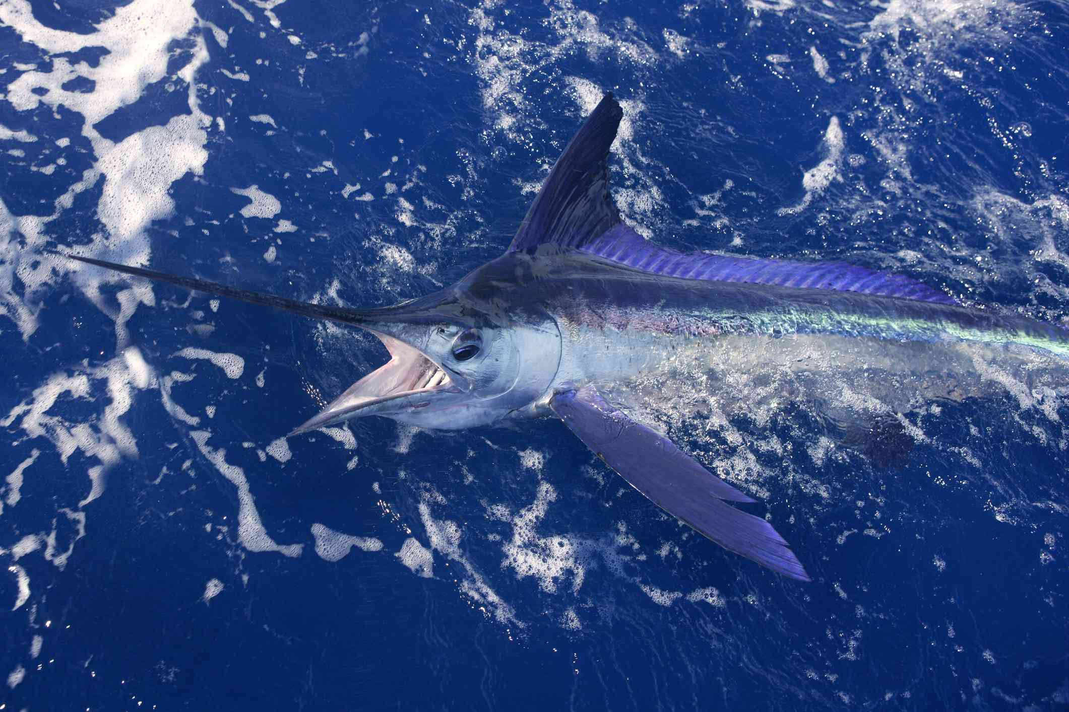 White marlin breaking the surface