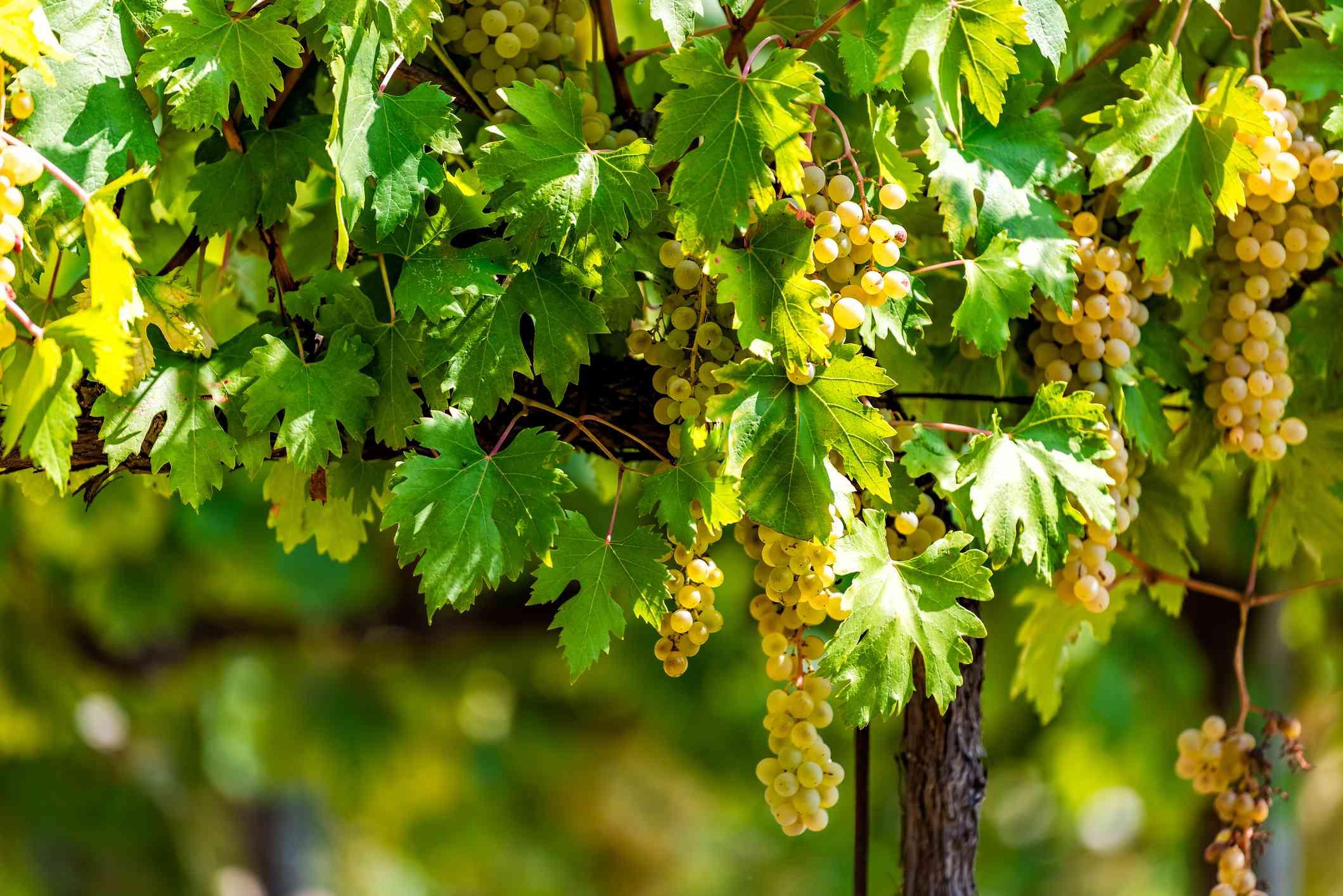 Grechetto grapes near Assisi, Umbria