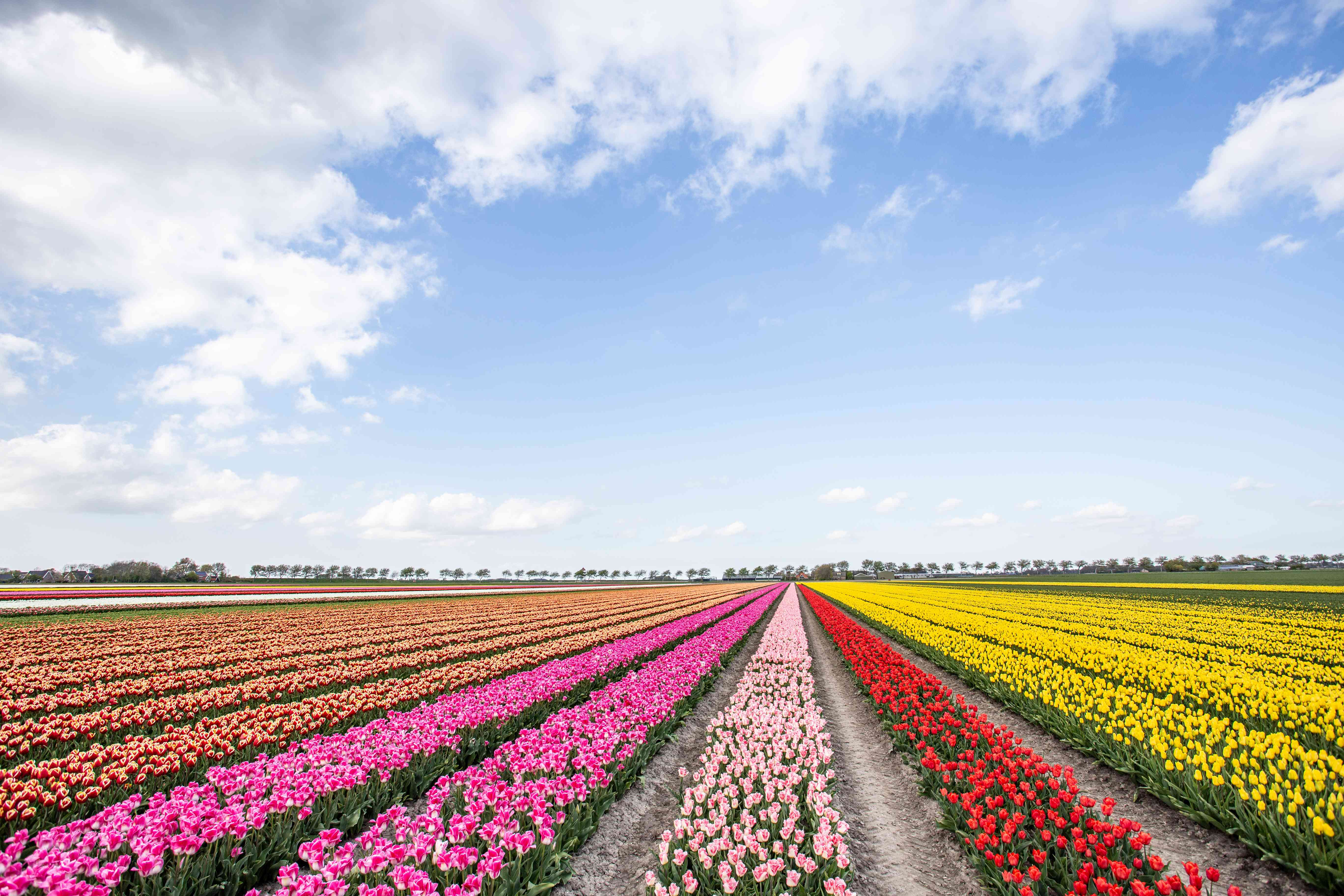 Rows of colorful tulips outside of Amsterdam