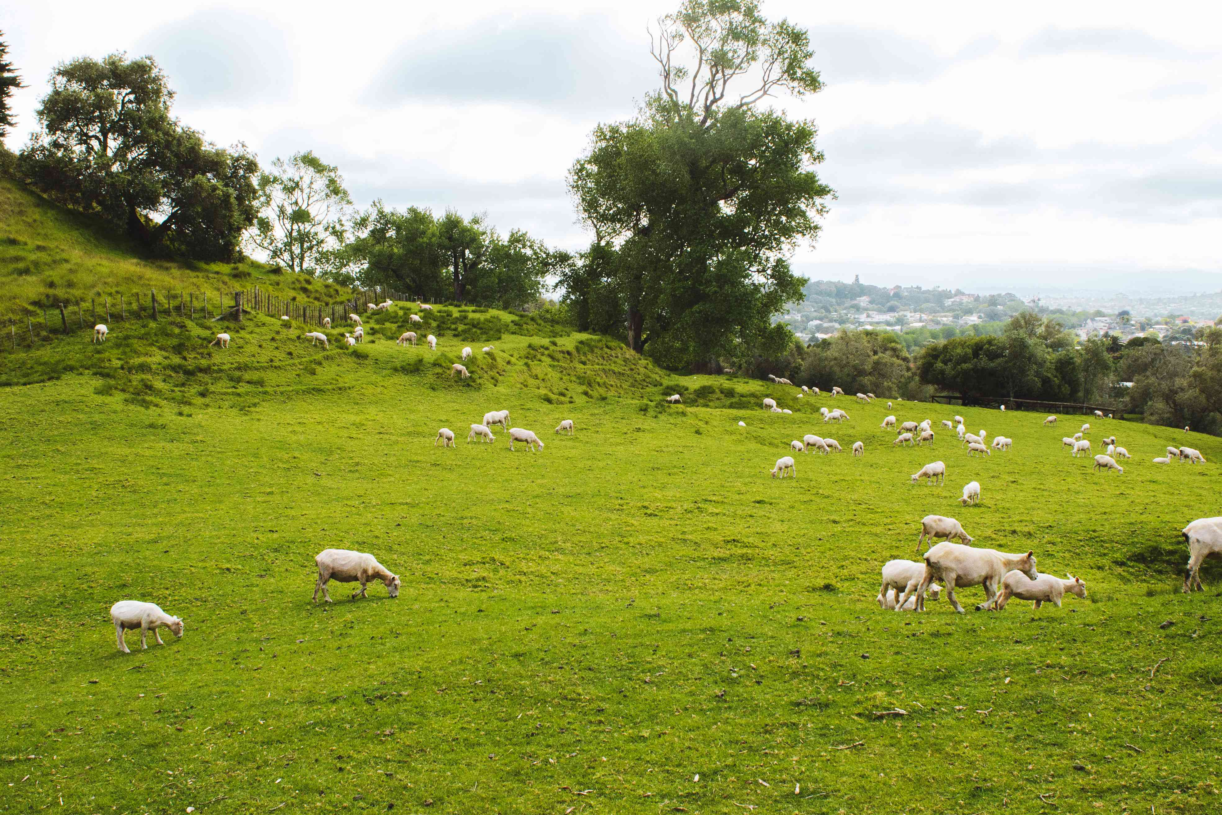 A heard of sheep grazing in Cornwall Park