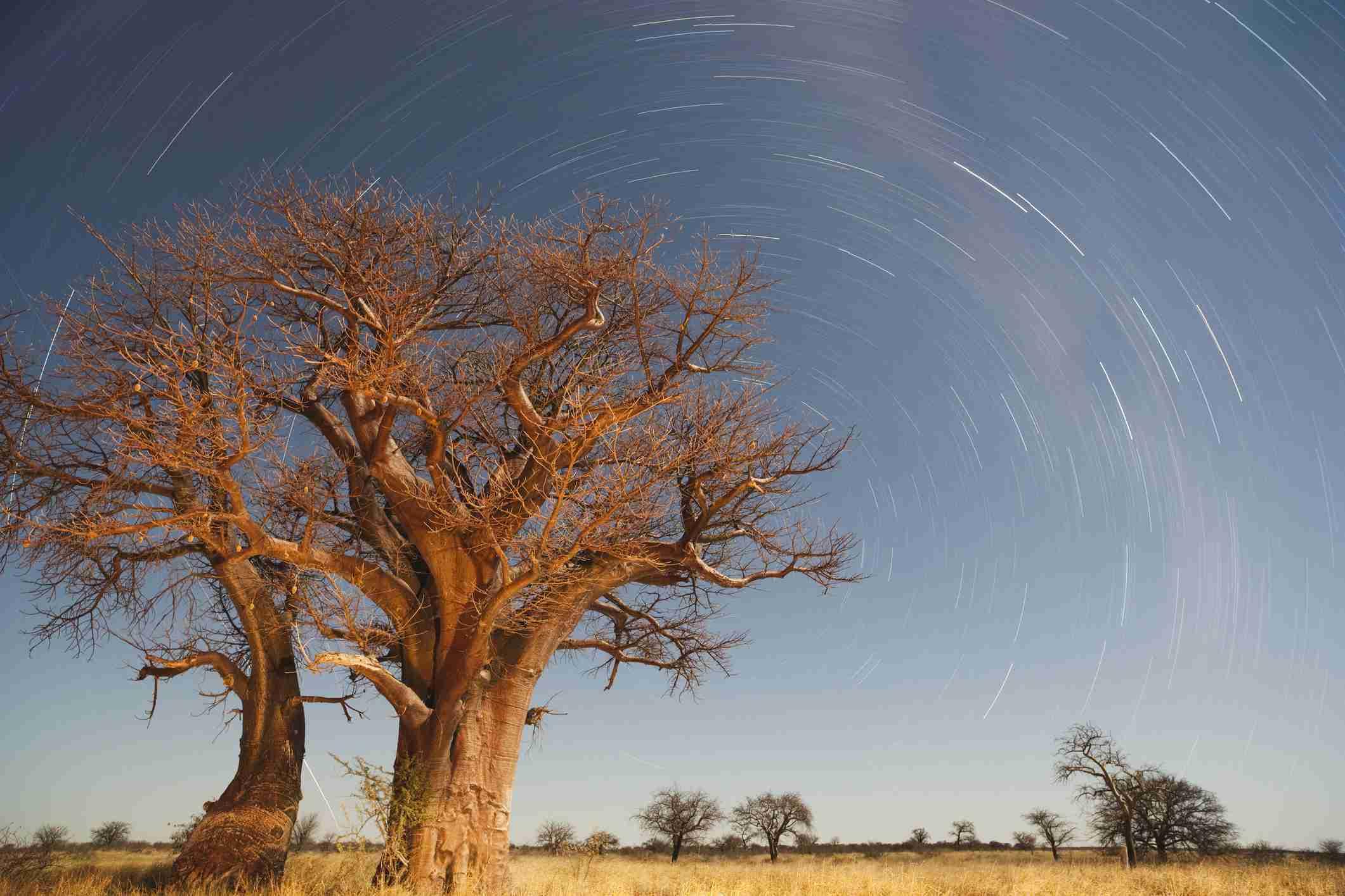 Baobabs, Nxai Pan