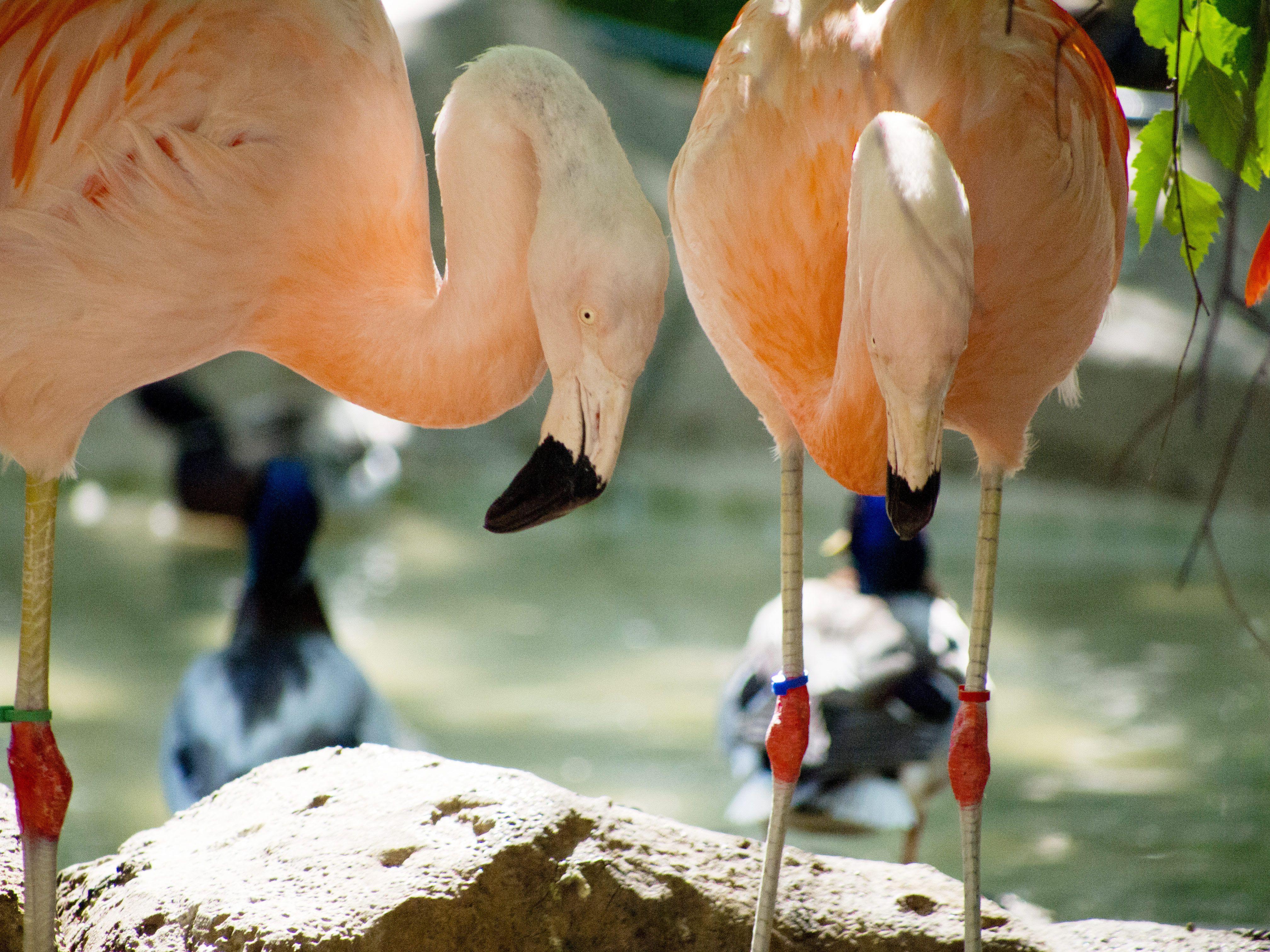 Flamingoes at Como Zoo