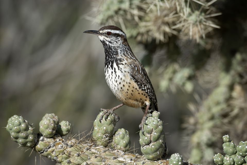 Cactus wren in Arizona