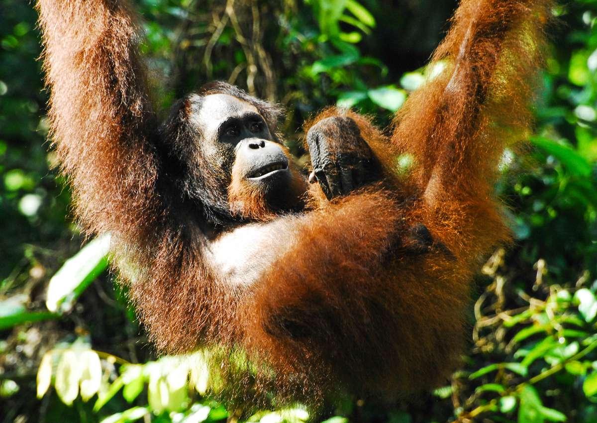 An orangutan hanging from a tree