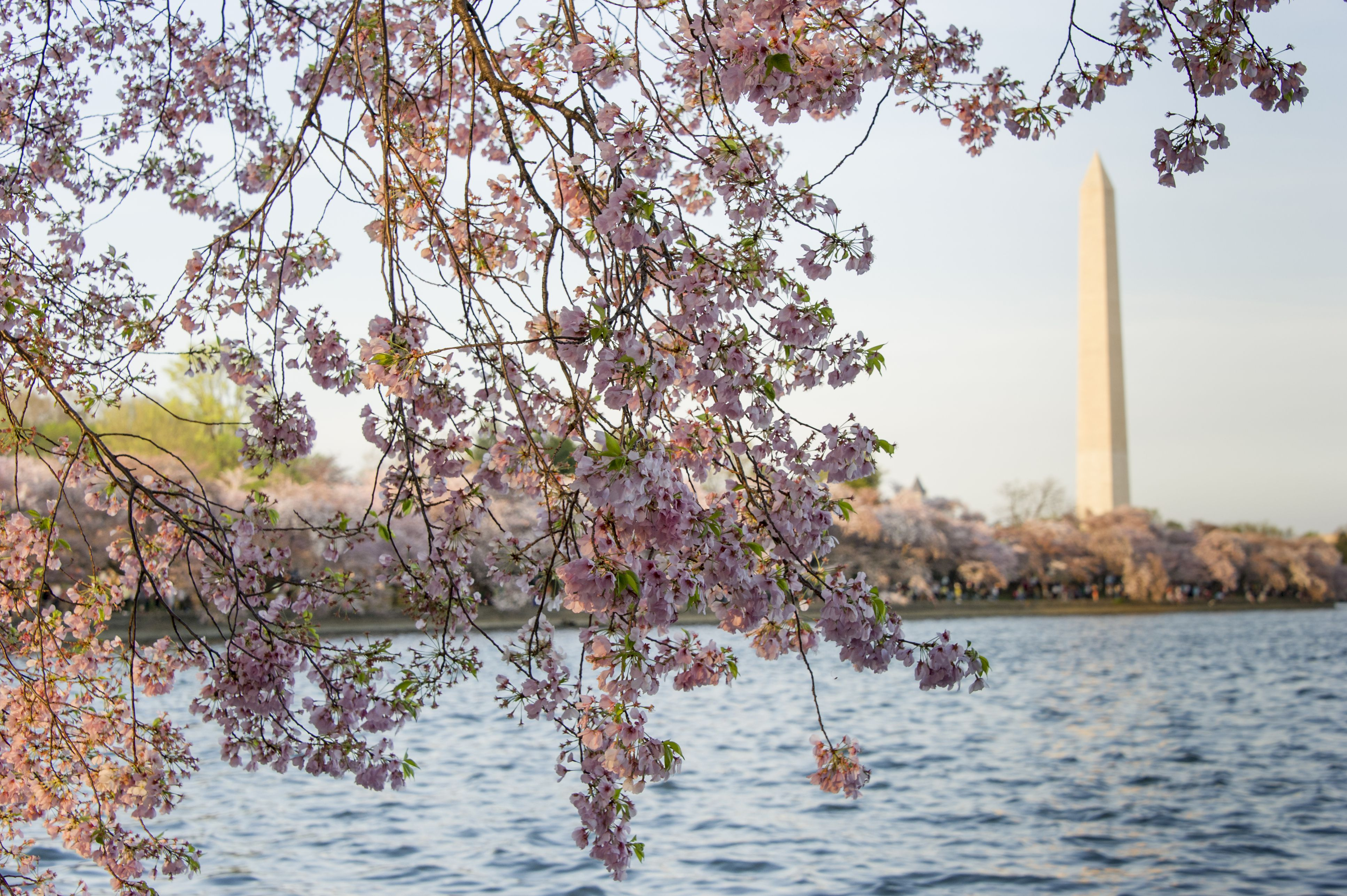 Cherry blossoms and the Washinton Monument