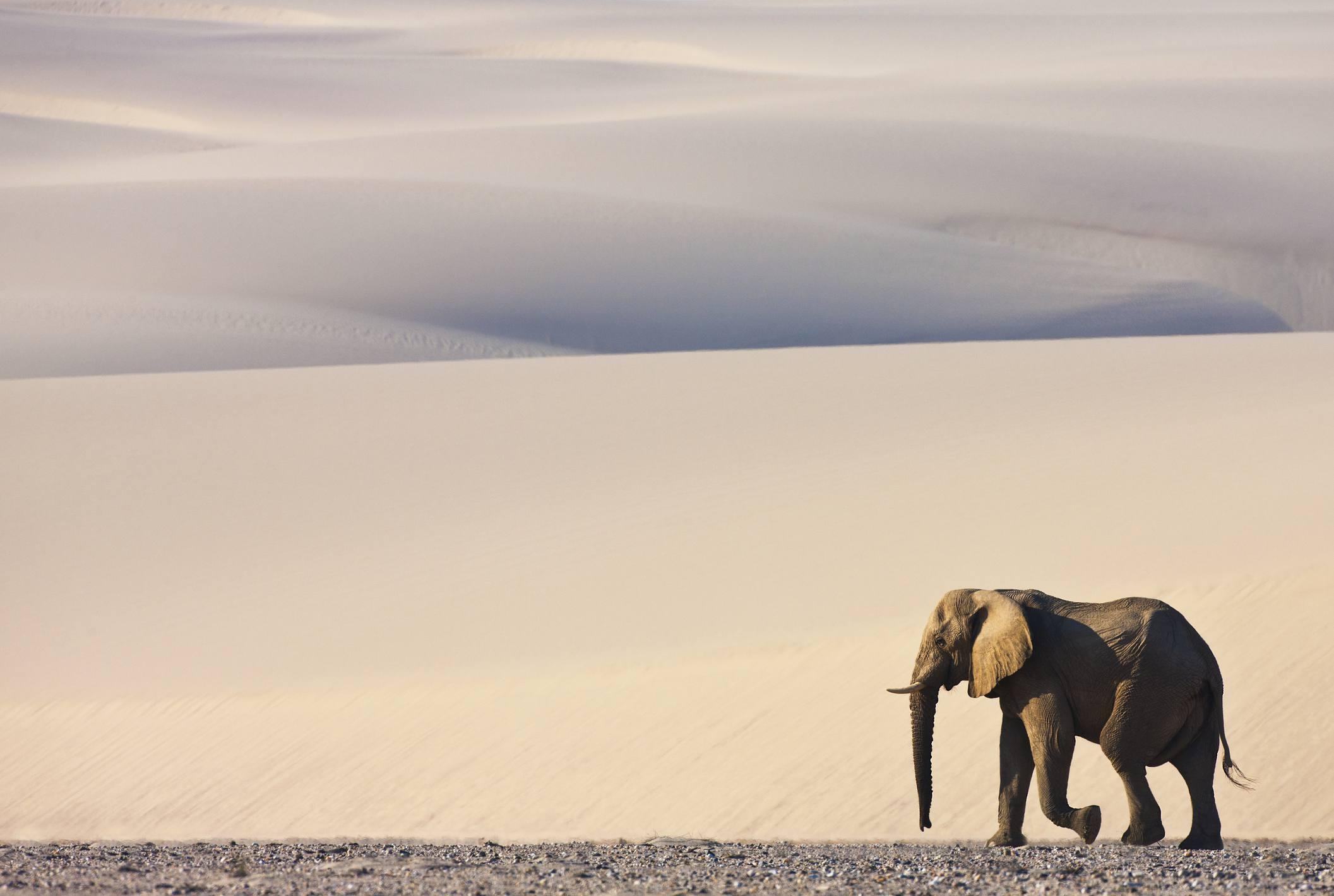 Desert-Adapted Elephant