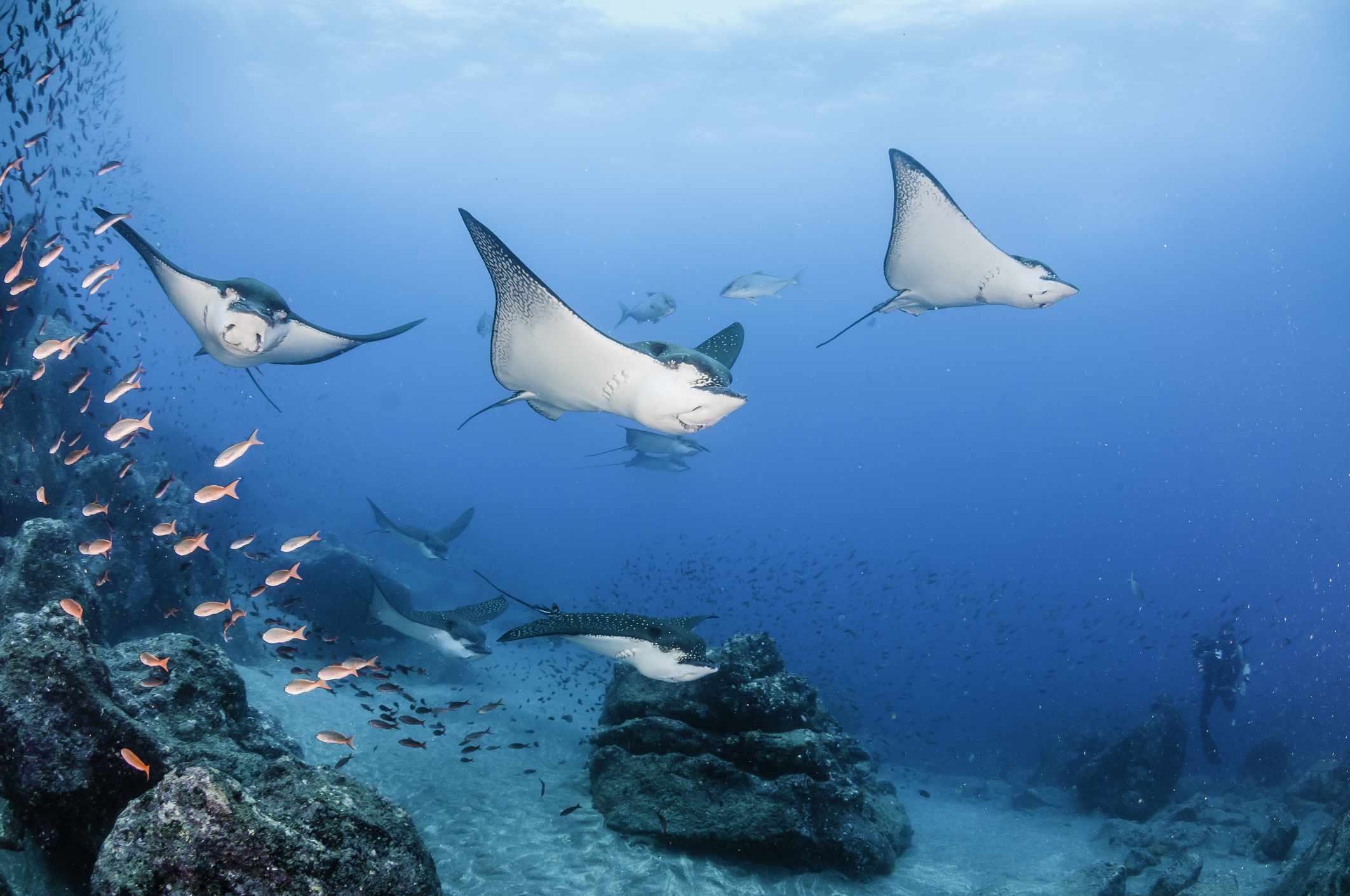 School of eagle rays numbering about 20 swimming along the edge of the reef at Wolf Island.