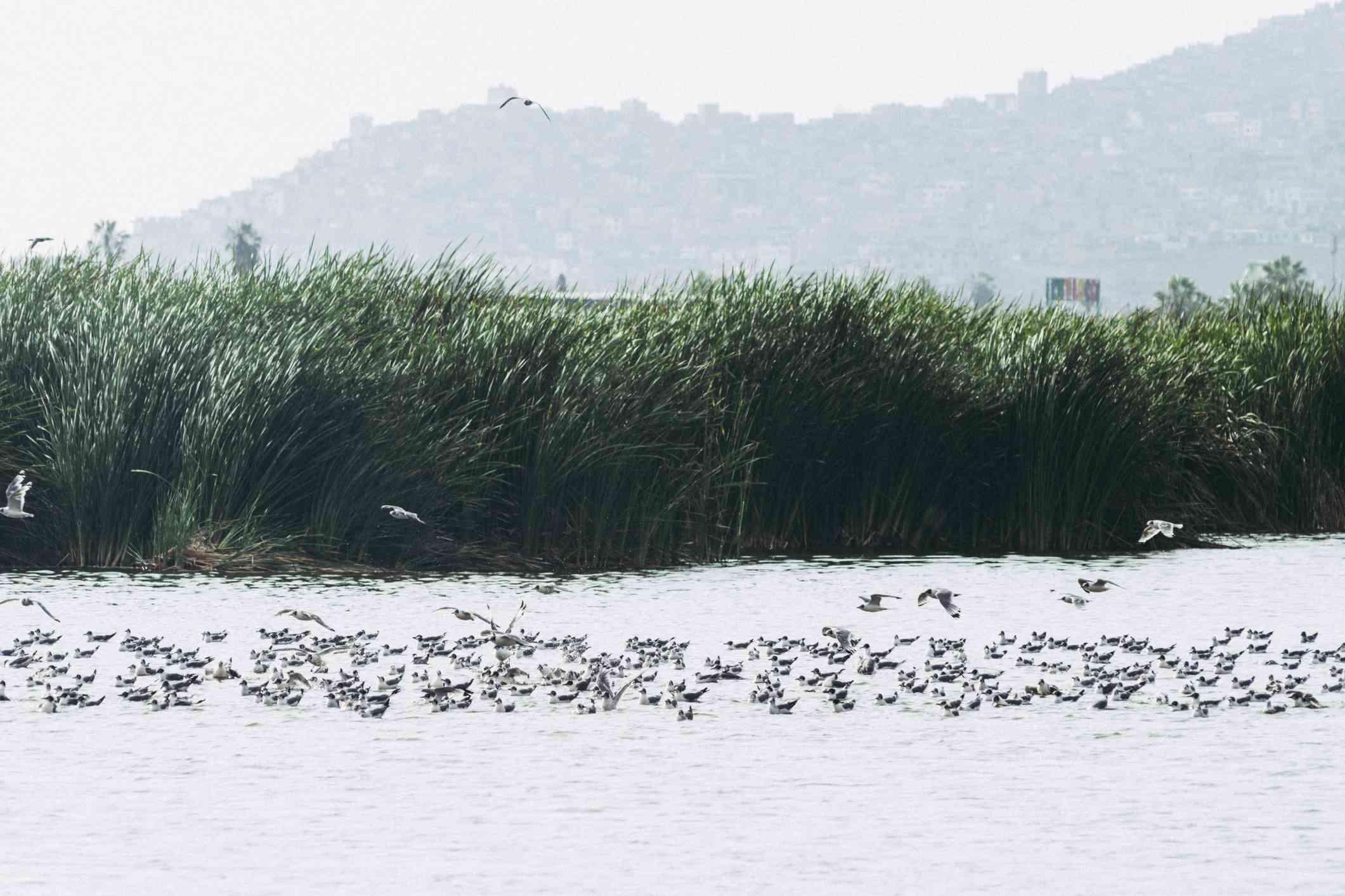 Birds in the Pantanos de Villa (Swamp of Villa), Chorrillos, Lima Peru.