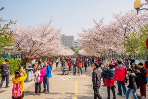 Blooming trees in Shanghai in March