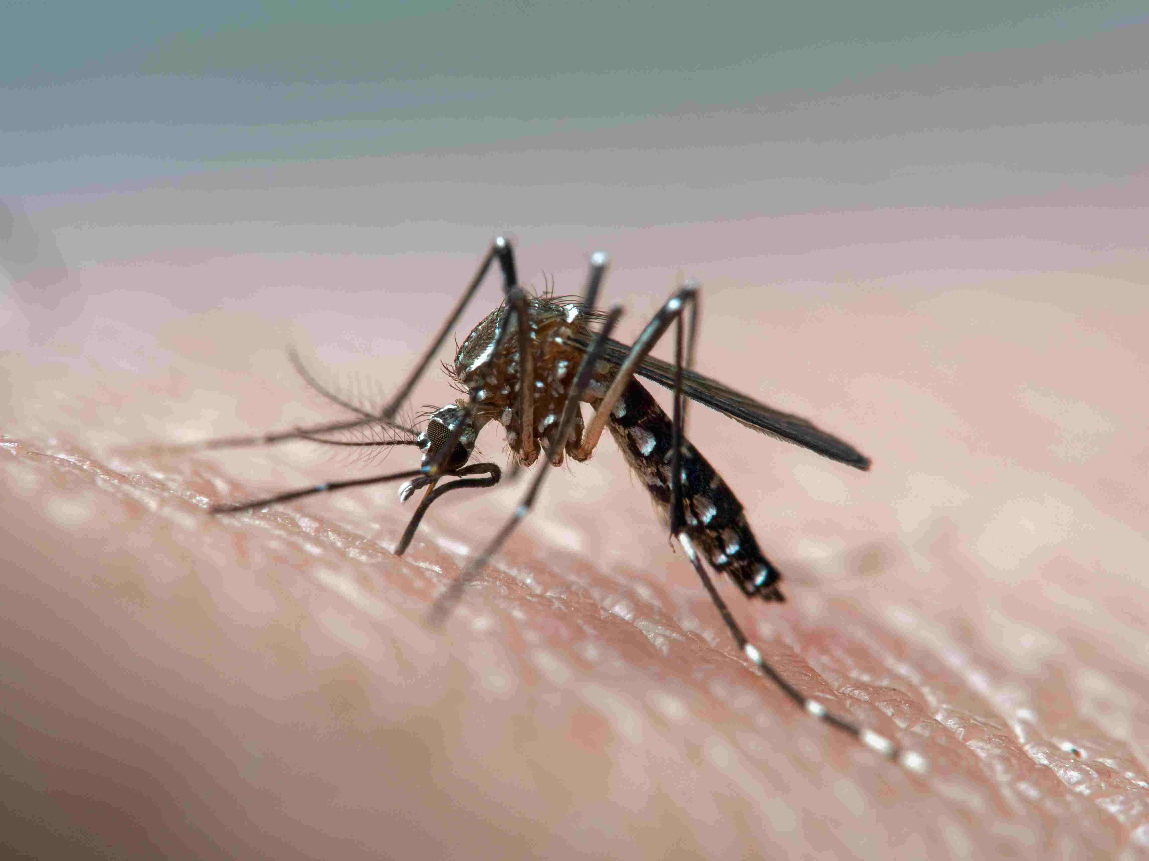 An aedes aegypti mosquito biting a person