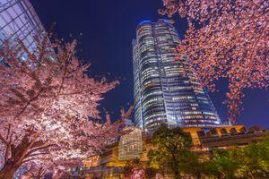 Tokyo Roppongi Hills Mori Tower Cherry blossom