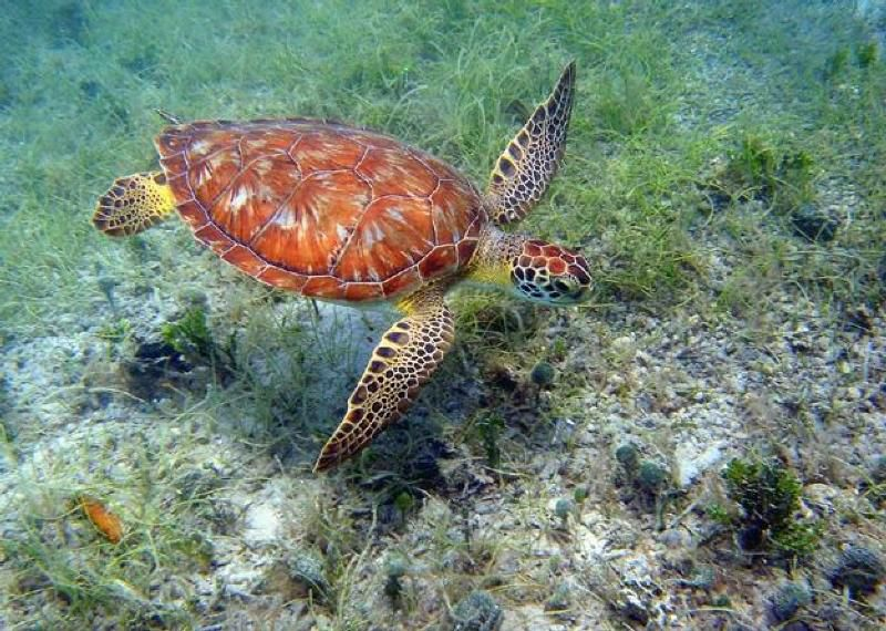 Green turtle in U.S. Virgin Islands National Park