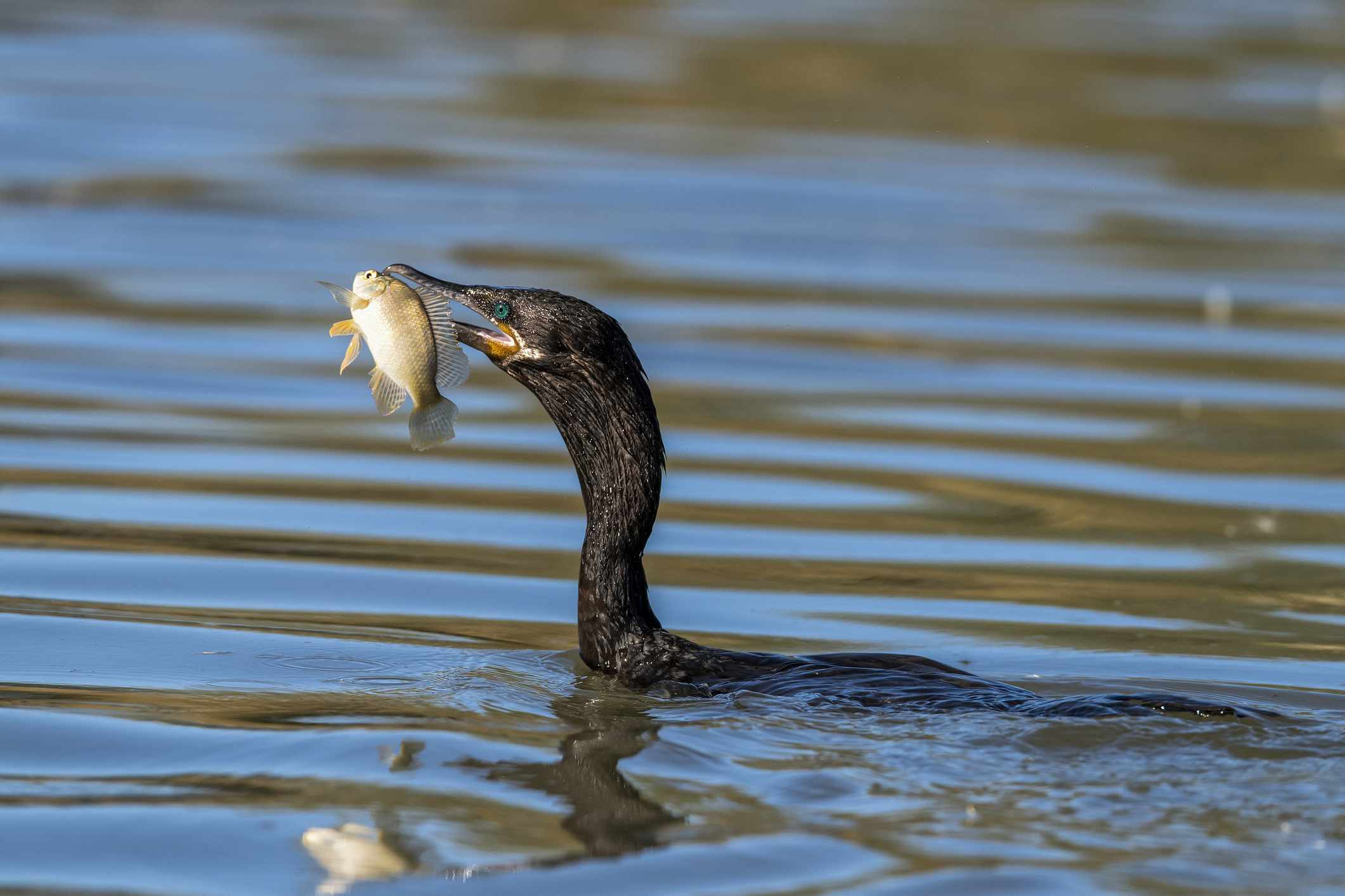 Cormorant (Phalacrocoracidae) bird with fish in mouth, Riparian Preserve at Water Ranch