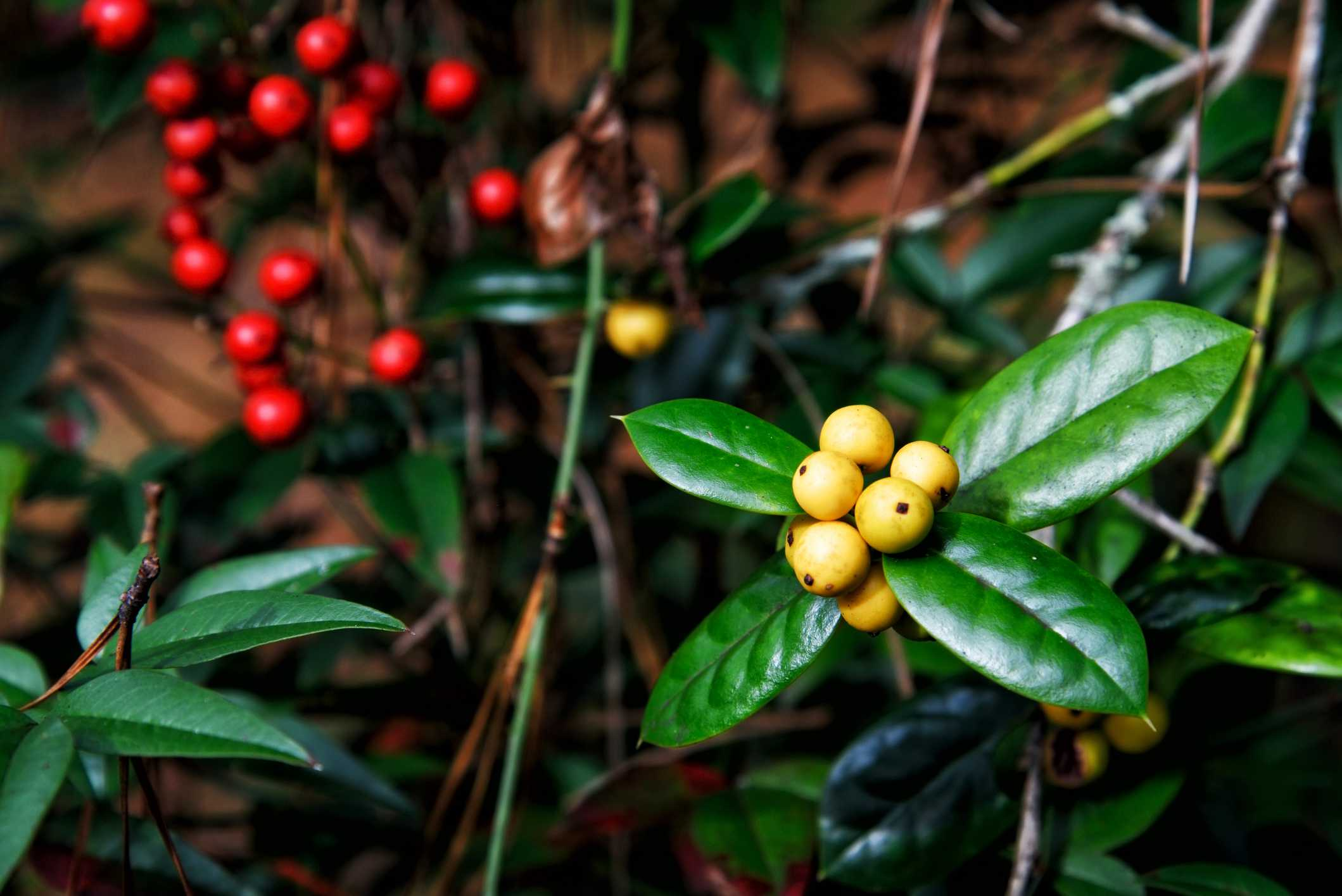 Yellow fruited holly berries with a defocused blurry background with red fruited hollies provide copy space. This image was shot at Callaway Gardens in Pine Mountain Georgia USA