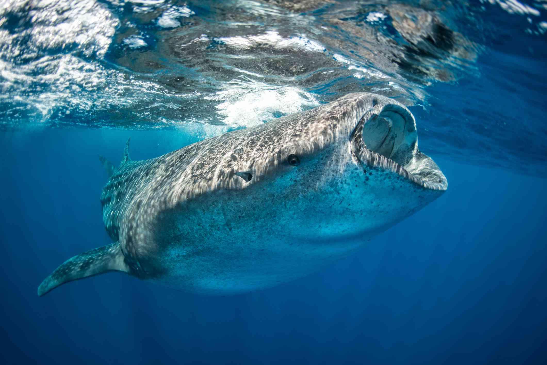 Feeding Whale Shark, Madagascar