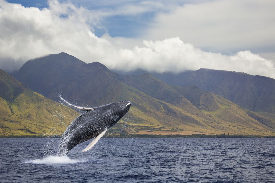 A breaching humpback whale (Megaptera novaeangliae) off the West side of the island of Maui
