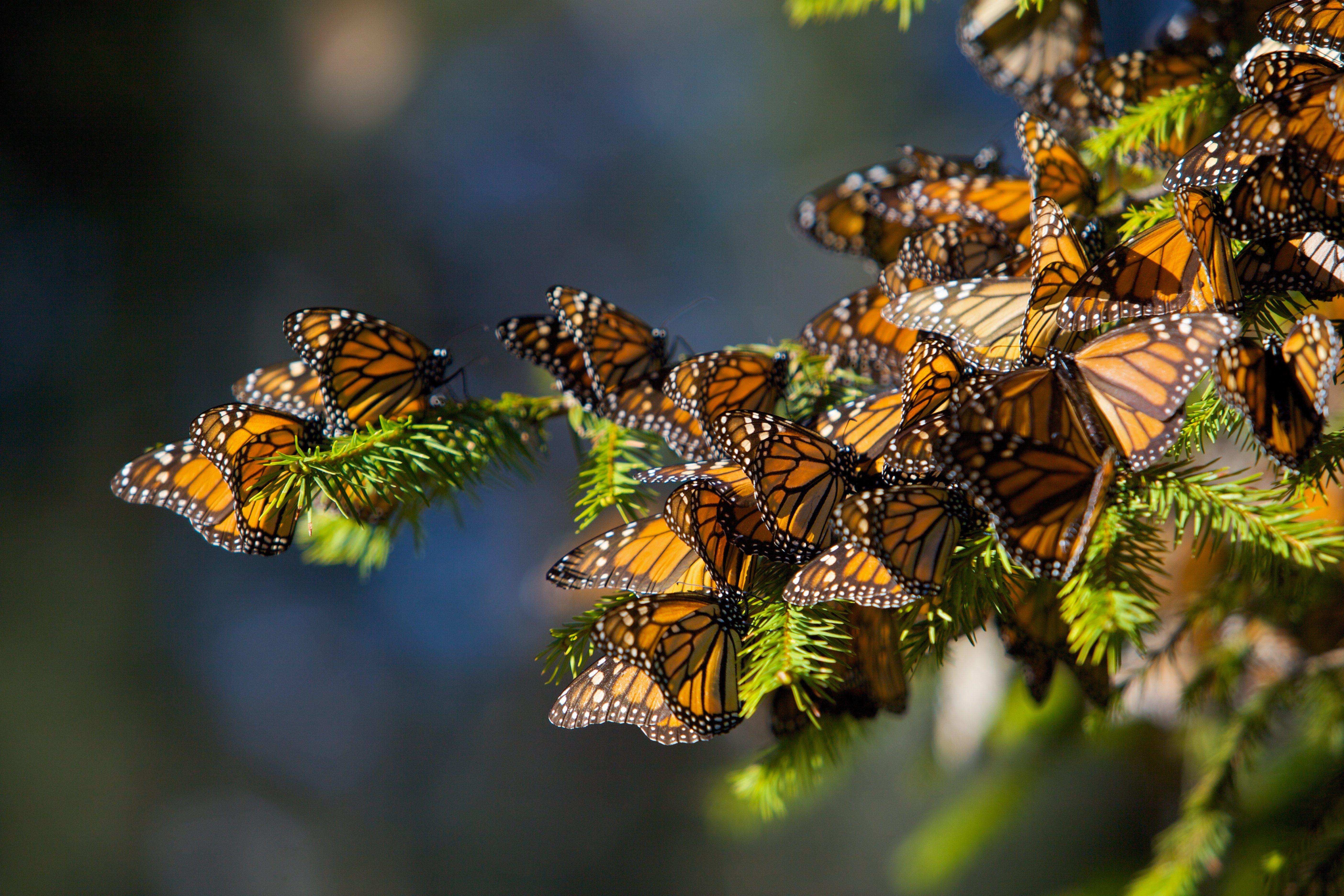 Mariposas monarca en una rama