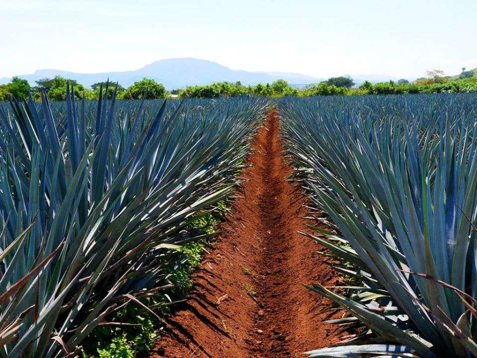 Tequila Field