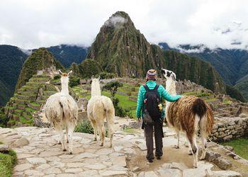 Peru, Machu Picchu region, Female traveler looking at Machu Picchu citadel and Huayna mountain with three llamas