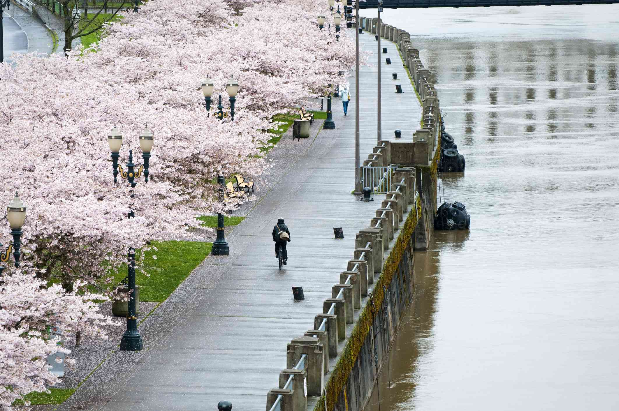 A bicyclist rides down Tom McCall Waterfront Park on a wet spring day in Portland, Oregon. Blossoming cherry trees on to the left and the Willamette River to the right.