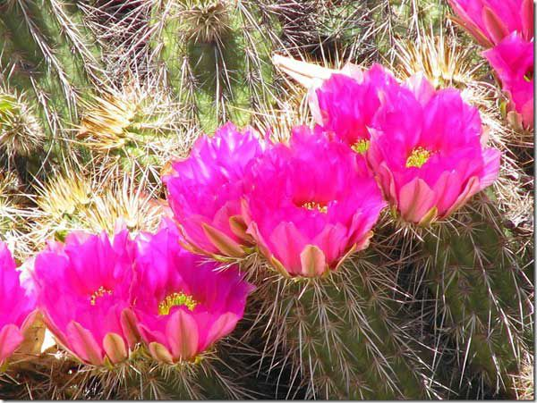 Cactus and cactus flowers photos from phoenix arizona engelmanns hedgehog mightylinksfo