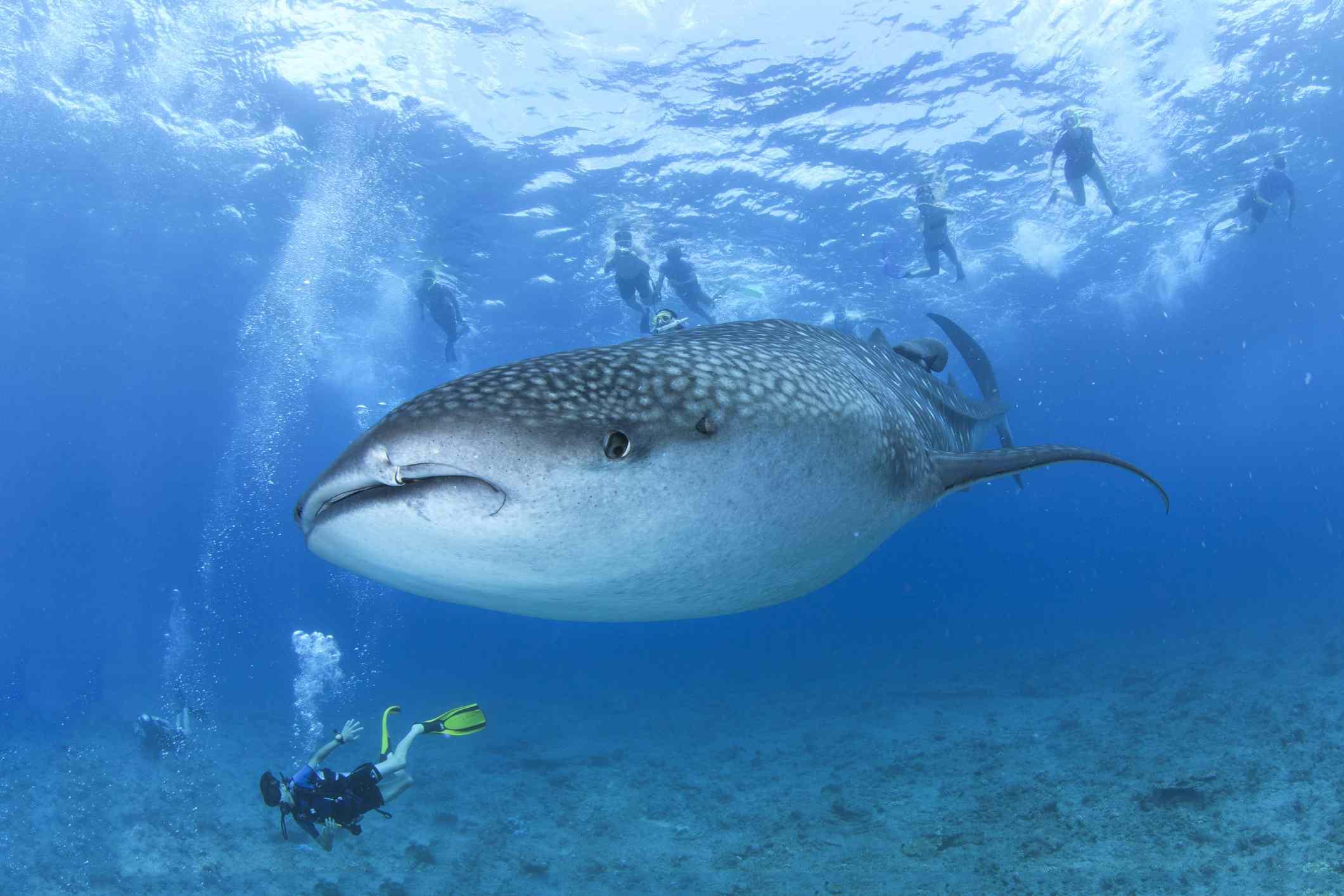 Swimming with sharks, Maafushivaru island, ari atoll.