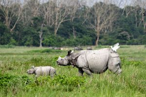 An Indian one-horned rhinocero and its baby walk at the Pobitora Wildlife Sanctuary