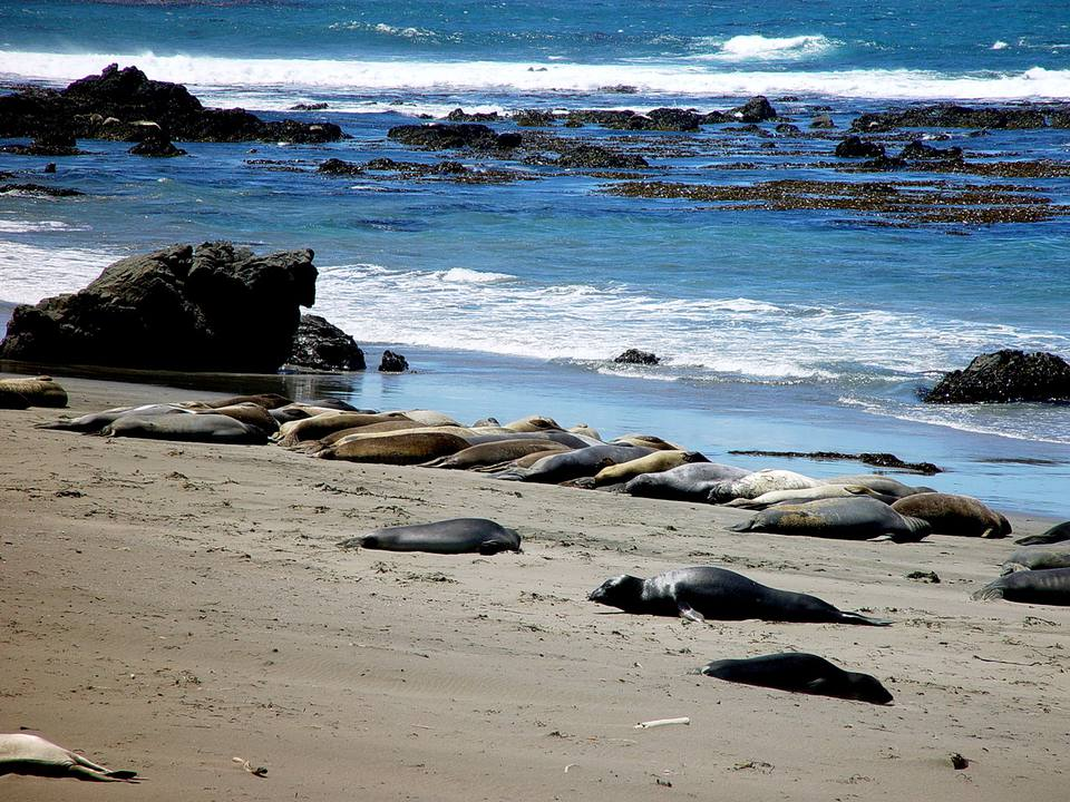 Seals on Hearst Beach