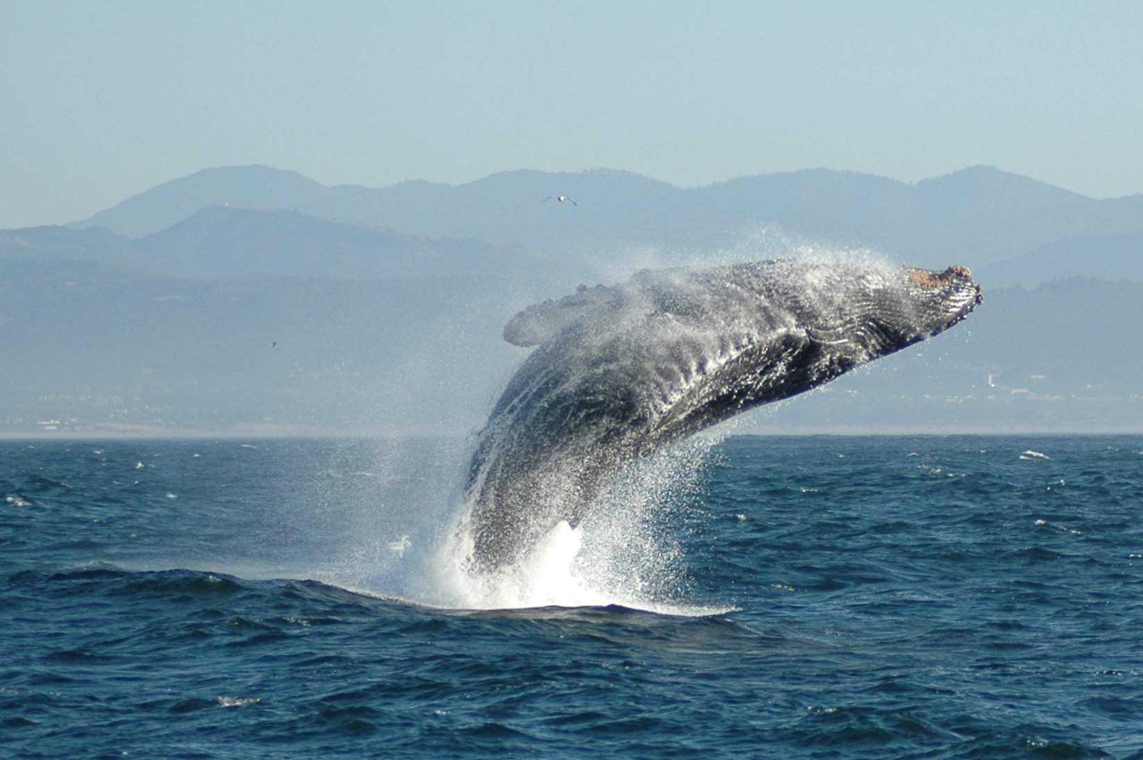 Whale Breaching in Monterey Bay