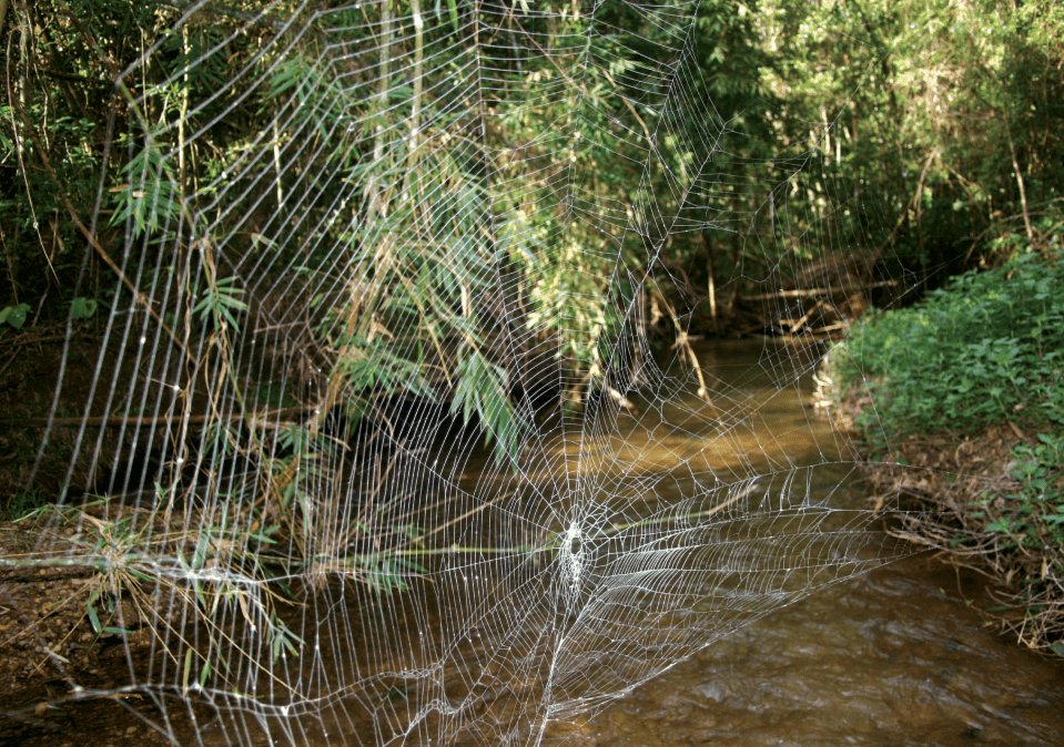 Web of Darwin's Bark Spider, largest web on earth, Madagascar