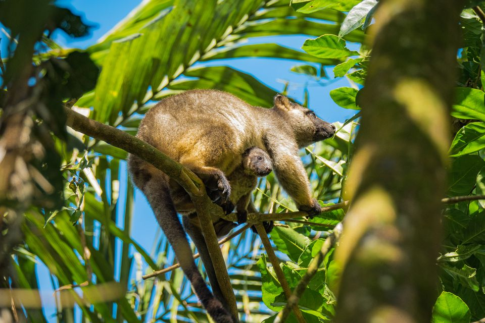Bennett's Tree Kangaroo with baby