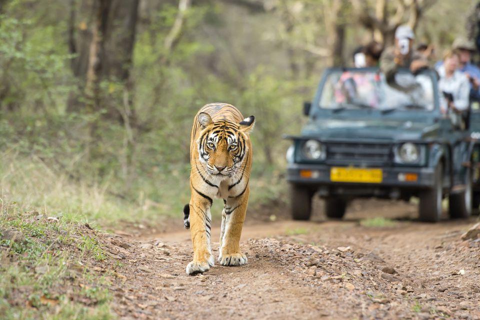 Tiger safari at Ranthambore.