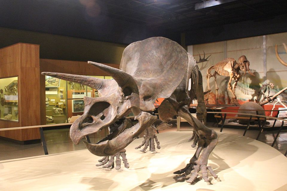 The triceratops at the Cleveland Museum of Natural History.
