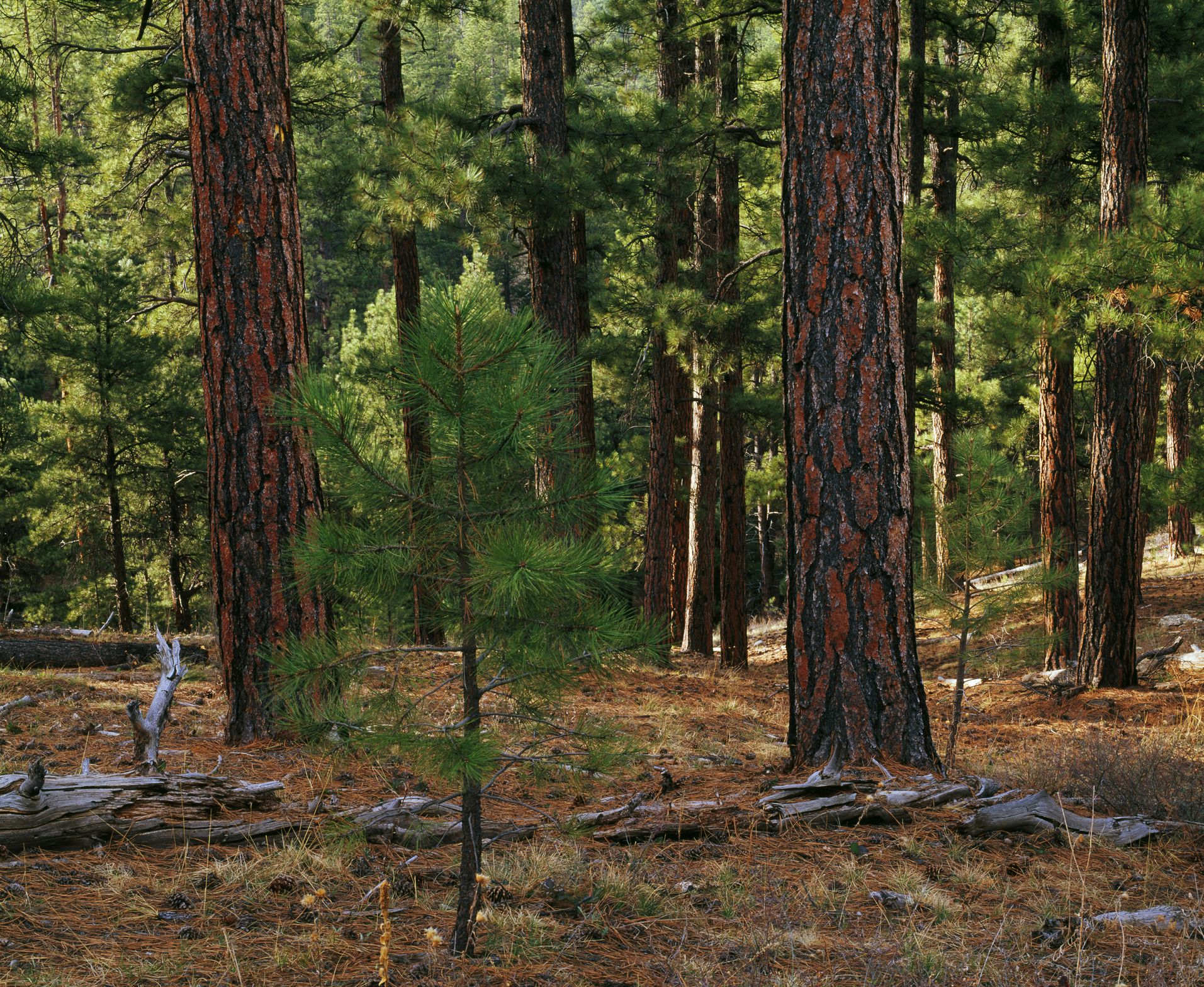 Small sapling growing in ponderosa pine tree forest, Kaibab National Forest, Arizona