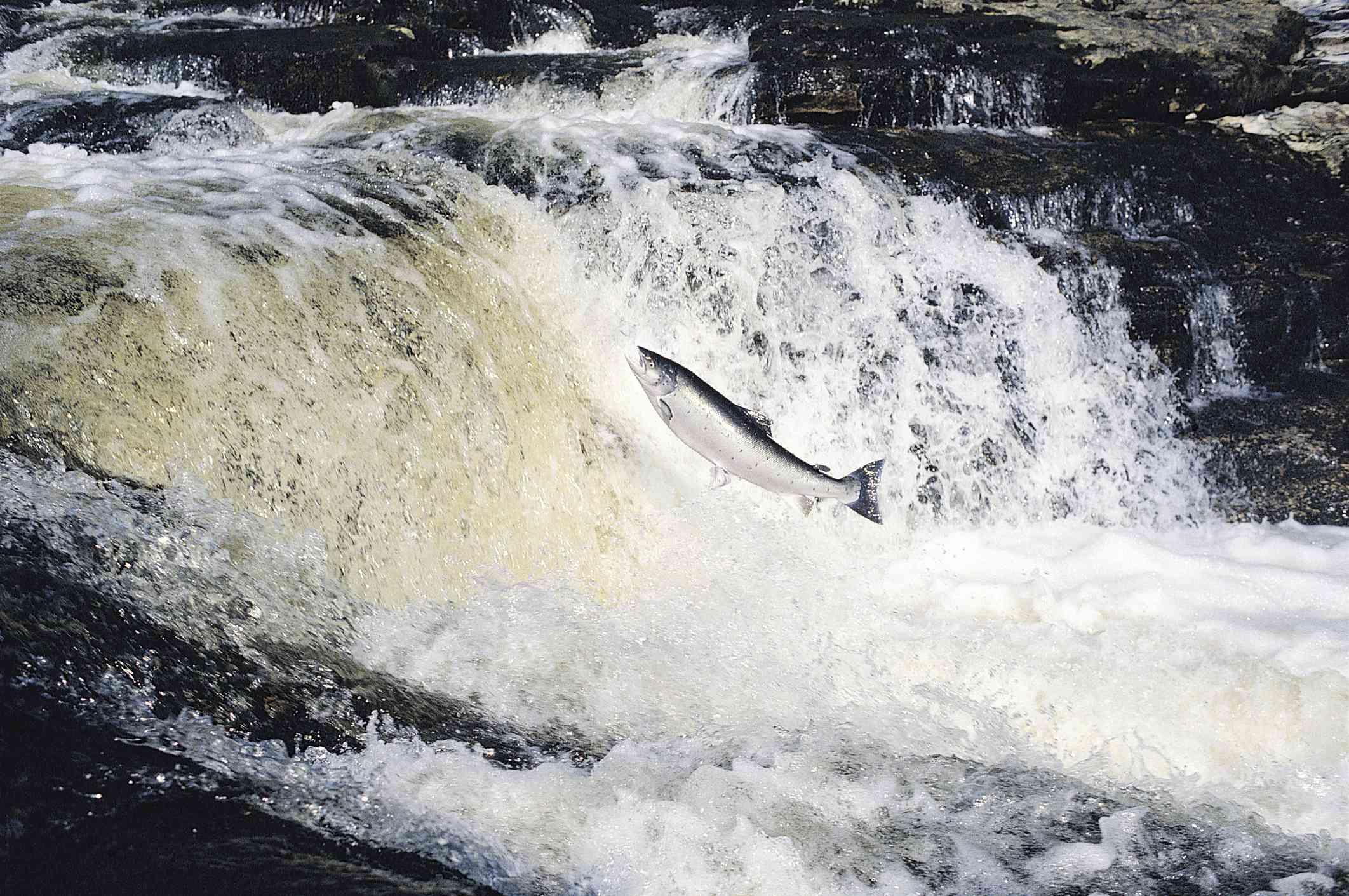 Salmon leaping upstream, UK