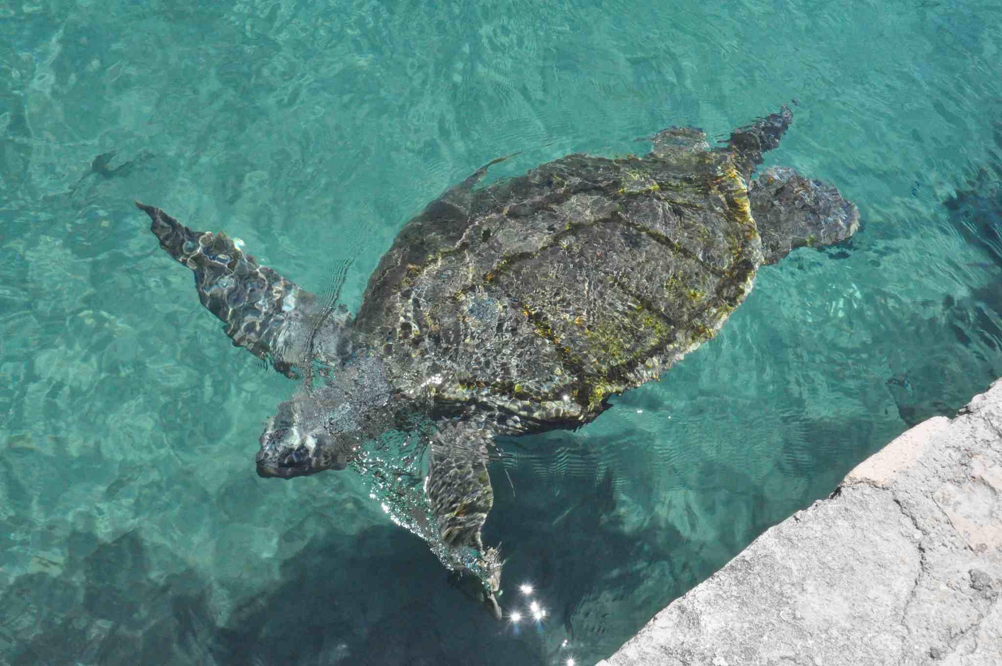 Xcaret Turtle