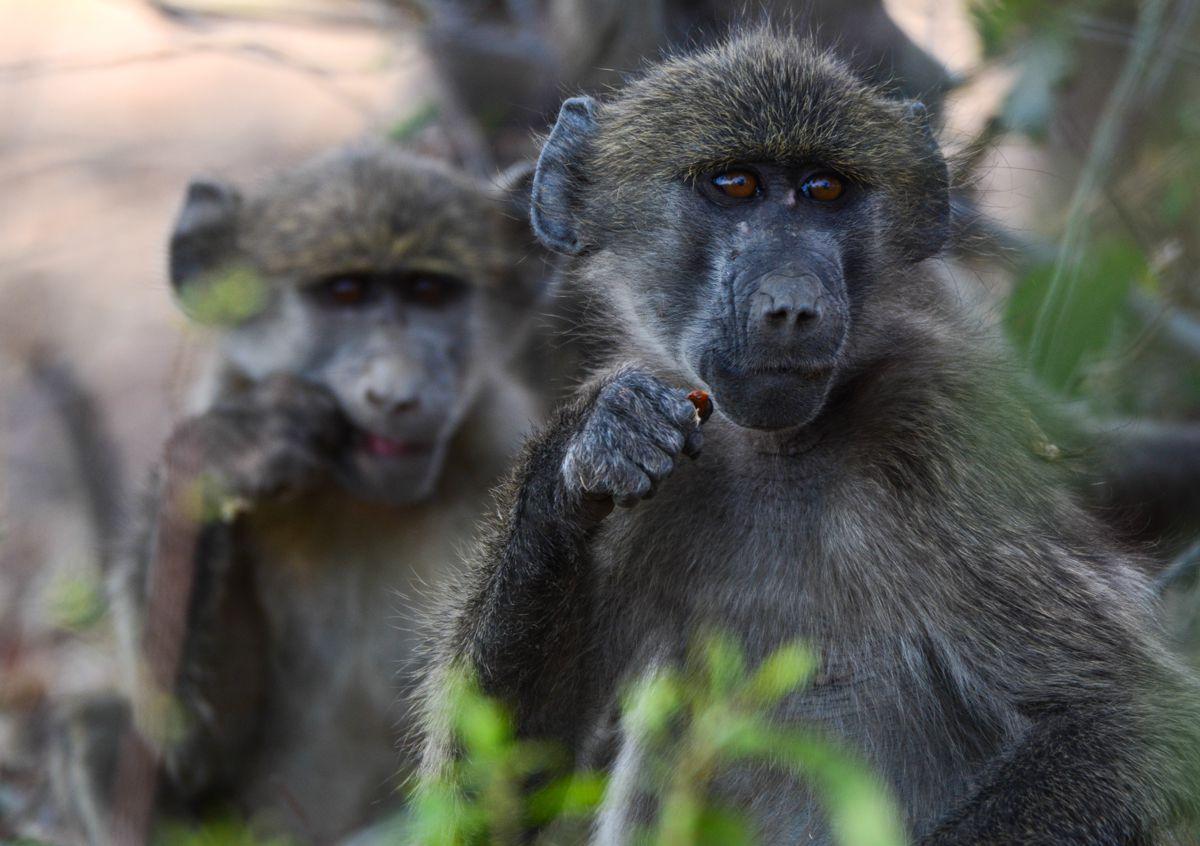Exploring Namibia's Spectacular Caprivi Strip Baboons