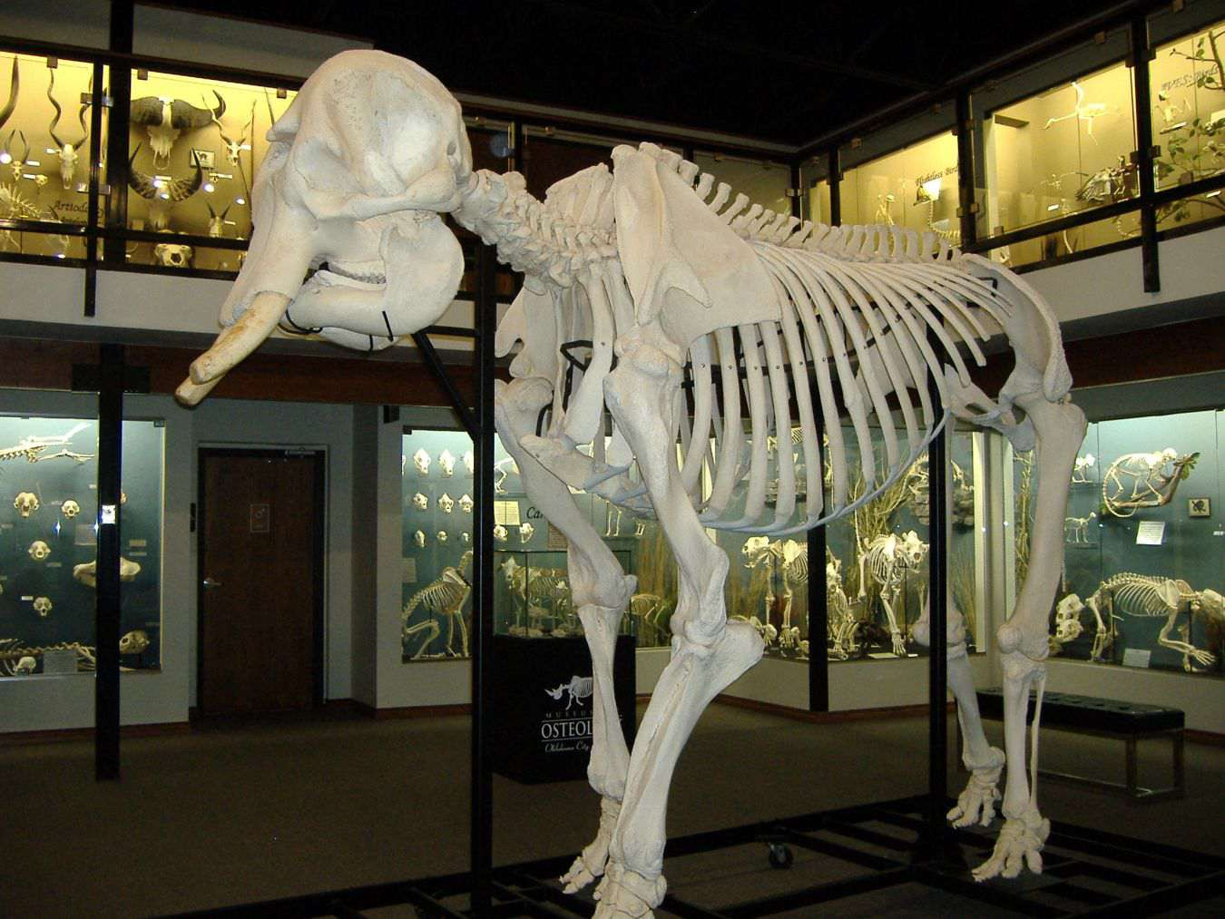 Elephant skeleton on display at the Museum of osteology