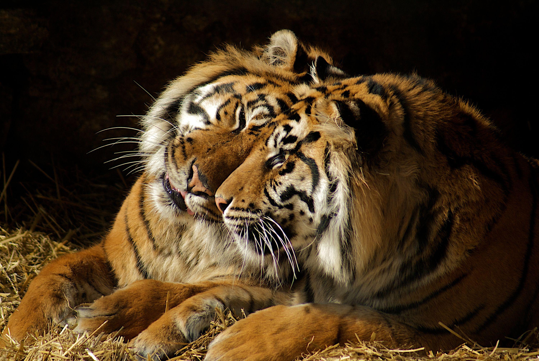 tigers-zoo