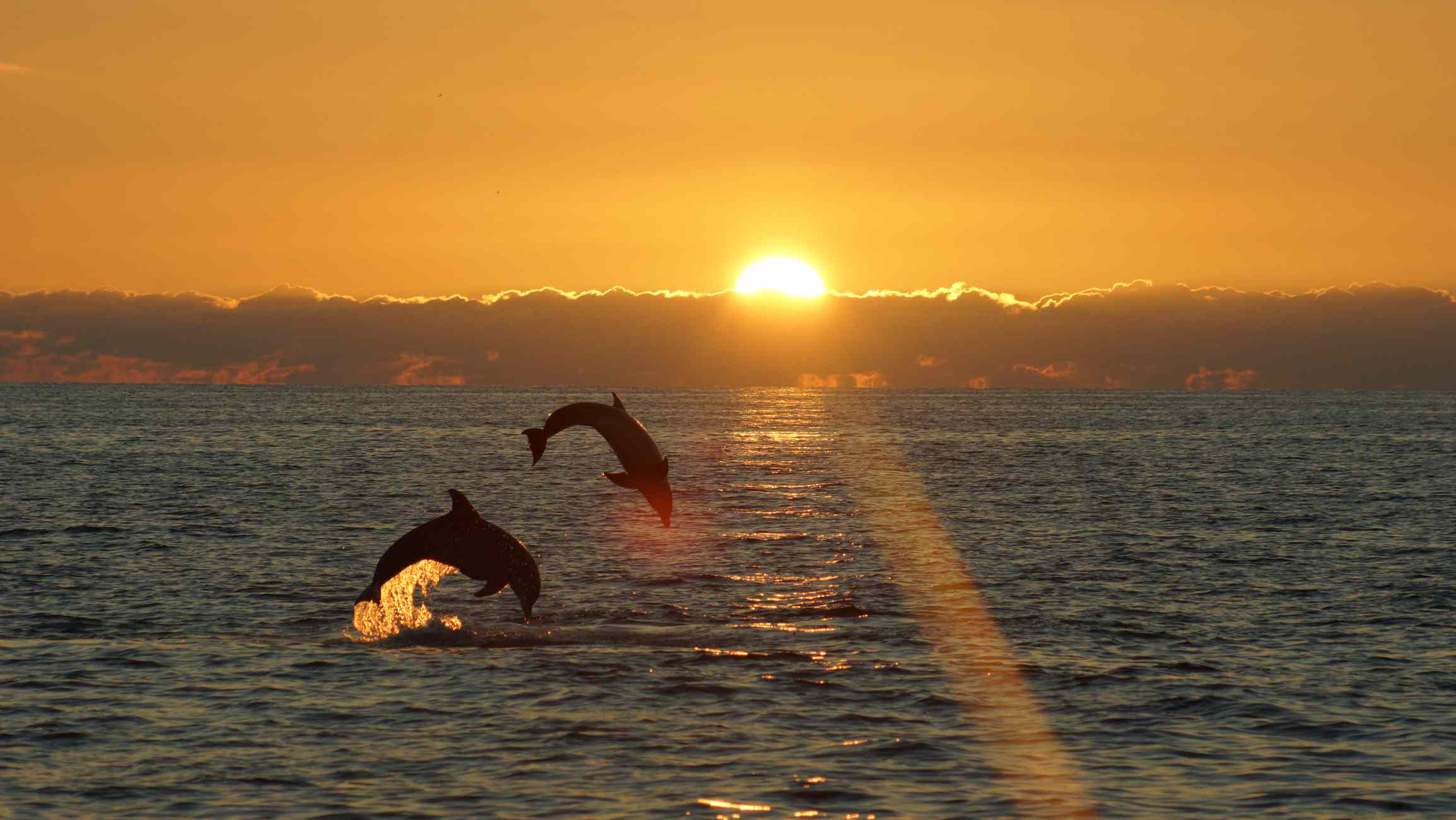 2 dolphins leaping at sunset near Sanibel Island, Florida
