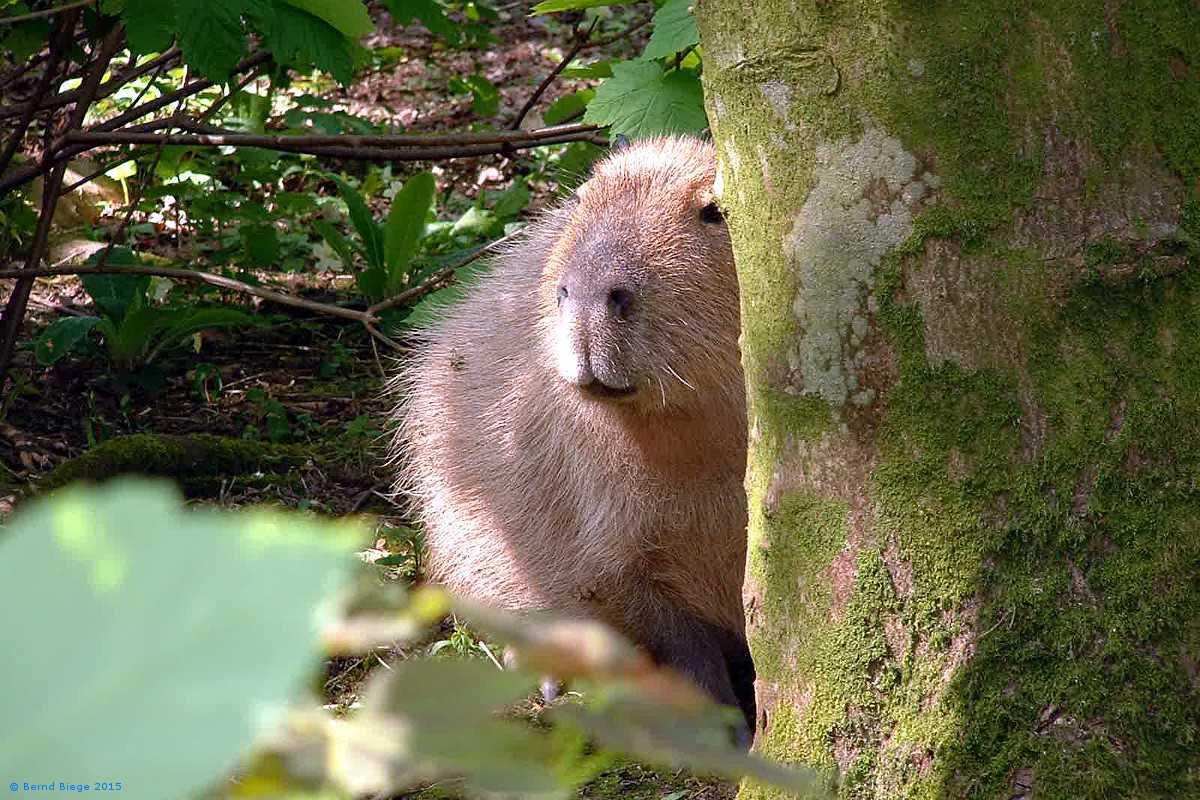 Capibara on the Loose in Fota Wildlife Park.