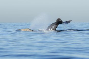 San Diego Whale Watching - How and When to See Them